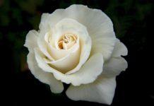 white rose 160916